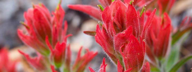 Red flowers in Colorado USA — Thandiwe Dale-Ferguson