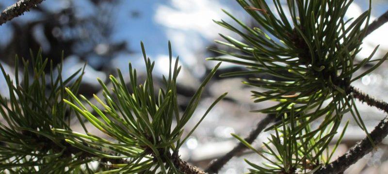 Ponderosa Pine, Estes Park, Colorado USA — by Ana Gobledale
