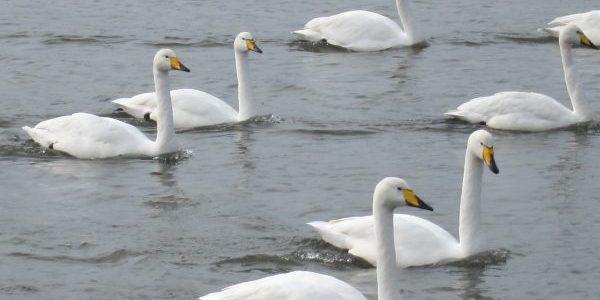 swans, Rejkavik, Iceland — Ana Gobledale