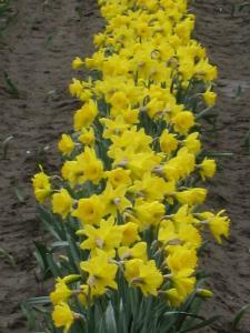 Daffodils, Mt Vernon, Washington, USA -- by Ana Gobledale