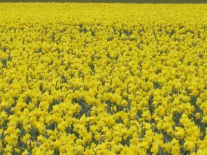 Daffodils, Mt Vernon, Washington USA -- Ana Gobledale