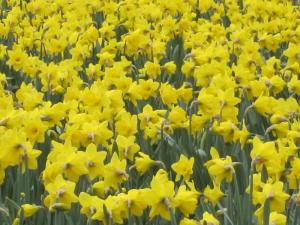 Daffodils, Mt Vernon, Washington USA -- by Ana Gobledale