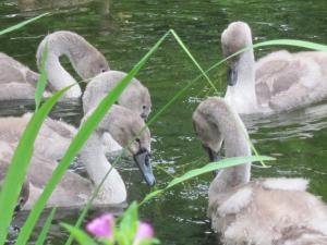 Goslings in Kew Gardens, London UK -- photo by Ana Gobledale