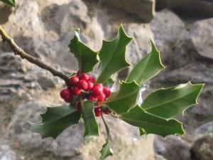 Christmas holly, Rochester UK