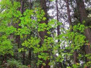 California redwoods; by Ana Gobledale