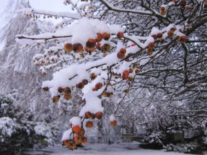 berries in snow at Windermere, Ana Gobledale, UK