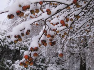 berries in snow, Cumbria UK -- By Ana Gobledale