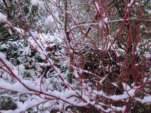 Snow branches, Cumbria UK -- Ana Gobledale