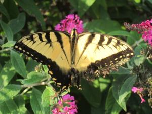 Butterfly, North Carolina - by Ana Gobledale