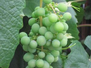 fruit of New Zealand -- Ana Gobledale