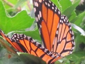 Monarch Butterfly, North Carolina, by Ana Gobledale