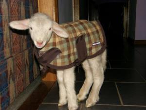 Lamb -- Kathy Schultz, Australia