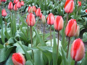 Tulips, Mt Vernon, Washington USA -- Ana Gobledale