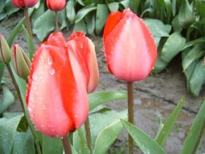 Tulips, Mt Vernon, Washington USA, by Ana Gobledale
