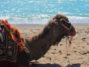 Camel, Turkey -- Ana Gobledale