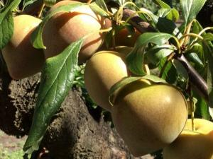 New Zealand harvest, Greytown -- Ana Gobledale