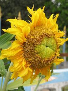 Sunflower, India -- by Thandiwe Dale-Ferguson